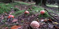 Fly Agaric on Forest Floor