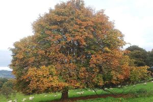 autumnal-tree-sheep-grazing