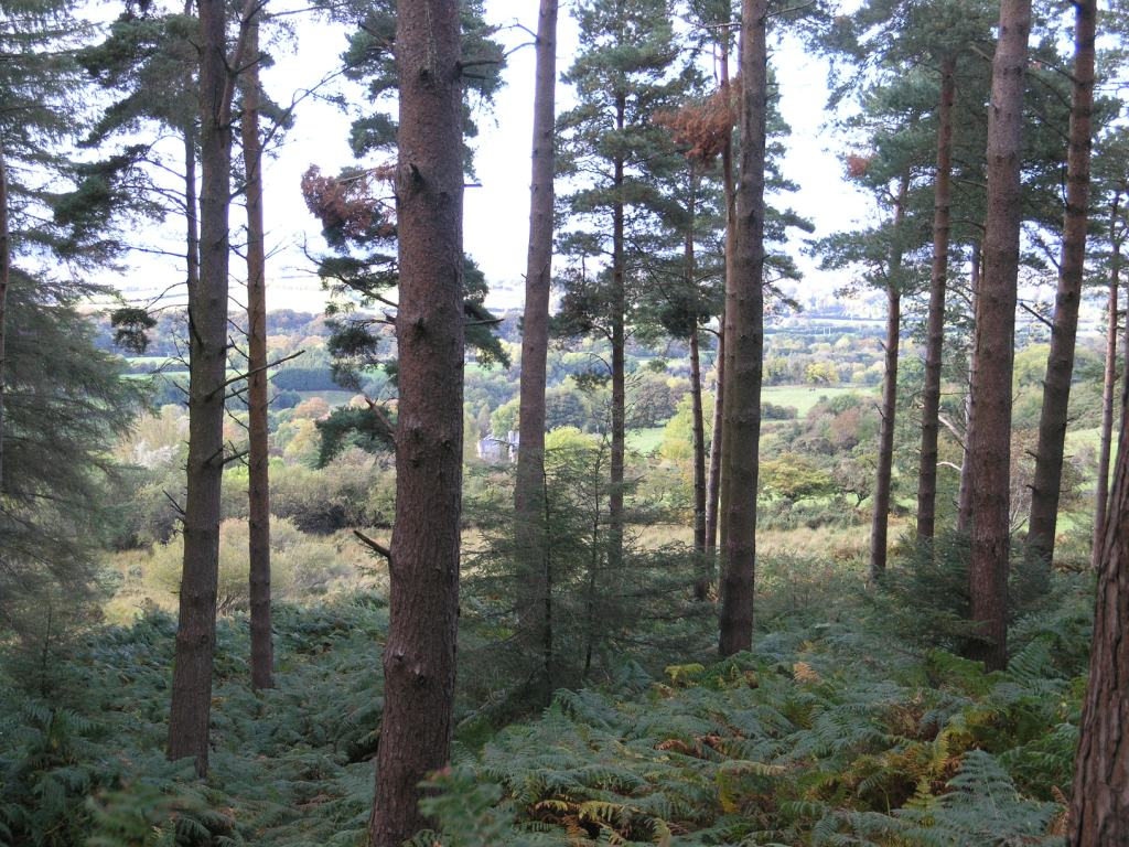 Edge of Tibradden Scots pine bracken