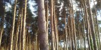 tall-thin-trees1